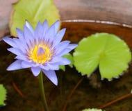 Ljus - purpurfärgad lotusblomma, näckros i dammet Arkivfoton