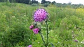 Ljus purpurfärgad spikeflower Arkivfoto