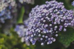 Ljus - purpurfärgat blomma för vanlig hortensia Arkivbild