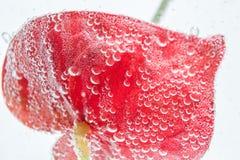 Ljus röd anthuriumblomma i klart klart vatten fotografering för bildbyråer