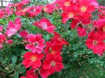 Ljus röd blommabuske arkivbild