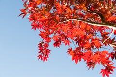 Ljus röd höstfärgning för japanska lönnlöv mot blått Royaltyfria Bilder