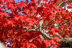 Ljus röd höstlig nedgånglövverk, medelskott, Upstate New York, NY, USA arkivbilder