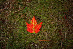 Ljus röd lönnlöv på grönt gräs Arkivbild
