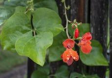Ljus röd löpare Bean Flowers efter regn royaltyfria bilder