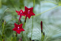 Ljus röd multifida för kardinal Vine - Lpomoea arkivfoto