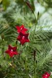 Ljus röd multifida 3 för kardinal Vine - Lpomoea arkivfoto