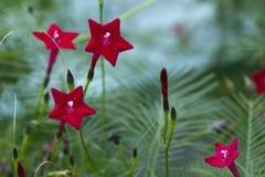 Ljus röd multifida 2 för kardinal Vine - Lpomoea royaltyfria bilder