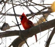 Ljus röd nordlig huvudsaklig sjungande färgrik fågelman Fotografering för Bildbyråer