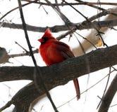 Ljus röd nordlig huvudsaklig sjungande färgrik fågelman Arkivbild