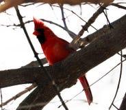 Ljus röd nordlig huvudsaklig sjungande färgrik fågelman Royaltyfri Foto