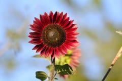 Ljus röd solros Arkivfoton