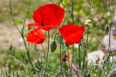 Ljus röd vallmoblomma med knoppen i fält i natur i solljus Arkivbild