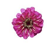Ljus röd isolerad blommazinnia Royaltyfria Bilder