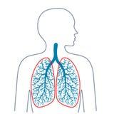 Ljus respiratoriskt system Medicin och hälsa vektor illustrationer