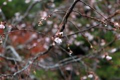 Ljus - rosa blom för körsbärsröd blomning på filialen efter regnet royaltyfria foton