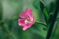 Ljus rosa blommacodlins-och-kräm, epilobiumhirsutum, stor hårwillowherb som blommar sally, ros-fjärd på grön bakgrund royaltyfri foto