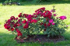 Ljus rosa buske i en trädgård royaltyfri fotografi