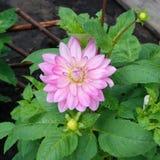 Ljus - rosa dahliablomma Royaltyfri Foto