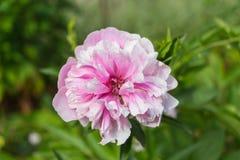 Ljus rosa färg- och vitpionblomning Royaltyfria Foton