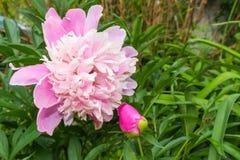 Ljus rosa färg- och vitpionblomning Arkivbild