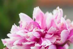 Ljus rosa färg- och vitpionblomning Arkivbilder