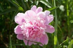 Ljus rosa färg- och vitpionblomning Royaltyfria Bilder