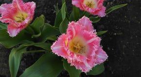 Ljus - rosa färg satte fransar på tulpan namngav utsmyckade krås Royaltyfri Bild