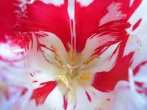 Ljus rosa färg-vit tulpan royaltyfria foton