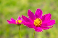 Ljus rosa färgblomma på grönt gräs Arkivbilder