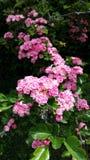 Ljus - rosa färgblomningar Royaltyfria Bilder