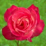 Ljus rosa färgros i natur Arkivfoton