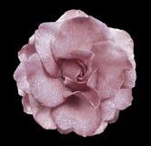 Ljus - rosa färgrosblomma på den svart isolerade bakgrunden med den snabba banan inga skuggor Steg med droppar av vatten på kronb Royaltyfria Bilder