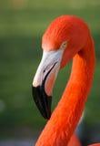 Ljus rosa flamingo på den gröna bakgrunden Fotografering för Bildbyråer