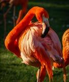 Ljus rosa flamingo på den gröna bakgrunden Arkivfoto