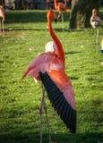 Ljus rosa flamingo på den gröna bakgrunden Arkivbild