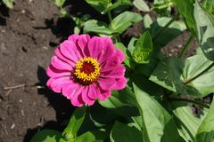Ljus rosa flowerhead av Zinniaelegans Fotografering för Bildbyråer