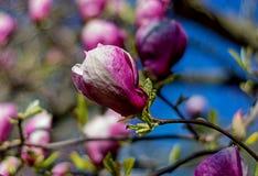 Ljus - rosa härlig magnolia Royaltyfri Bild