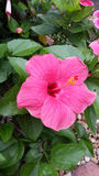 Ljus rosa hibiskus Royaltyfri Fotografi