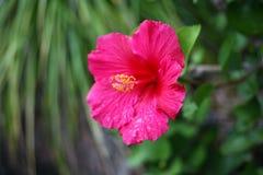 Ljus rosa hibiskusblomma i blom Royaltyfri Bild
