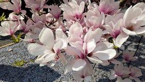 Ljus - rosa magnolia royaltyfria foton