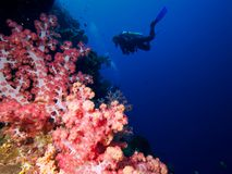 Ljus rosa mjuk koraller och dykare i blåtten royaltyfria bilder