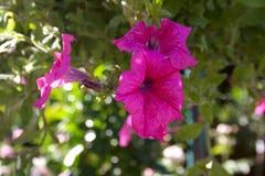 Ljus rosa petuniablomma i hängande kruka royaltyfria foton