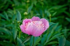 Ljus rosa pionvårblomning Arkivfoton