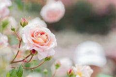 Ljus rosa rosblomma Royaltyfria Foton