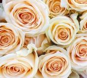 Ljus - rosa roscloseup fotografering för bildbyråer