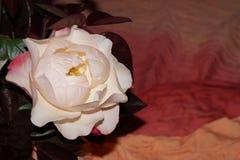 Ljus - rosa rosor Arkivfoto