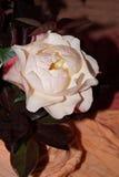 Ljus - rosa rosor Arkivbild