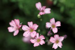 Ljus - rosa små blommor av Rosa Schonheit för Gypsophilarepens` `, Royaltyfri Fotografi