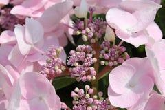 Ljus - rosa vanlig hortensiablomma Royaltyfria Foton